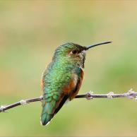 Allen's Hummingbird 4