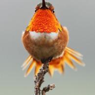 Allen's Hummingbird 1