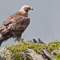 Golden Eagle 2