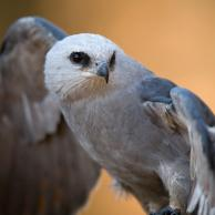 Mississippi Kite 2