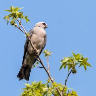 Mississippi Kite 5