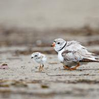 Piping Plover 4