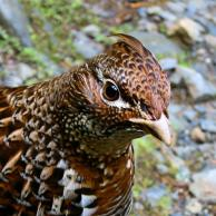 Ruffed Grouse 2