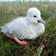 Tundra Swan 4