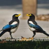 Yellow-Billed Magpie 3
