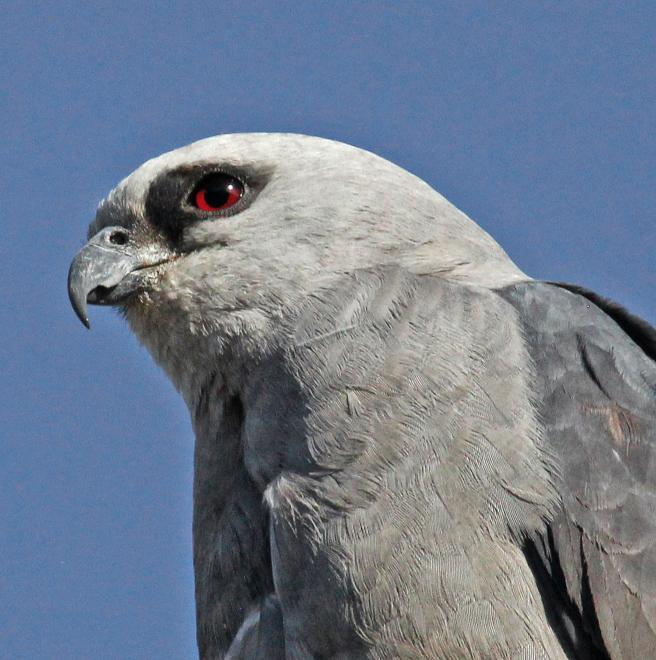 Mississippi Kite The Audubon Birds Climate Change Report